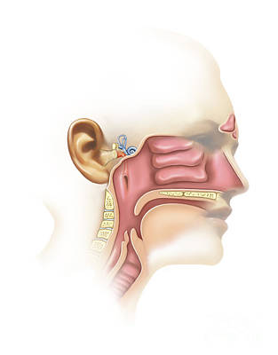 Anatomy Of Inner Ear And Sinuses Poster