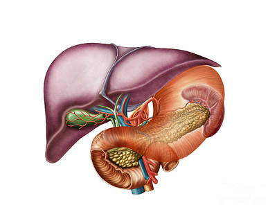 Anatomy Of Liver, Antero-visceral View Poster by Stocktrek Images
