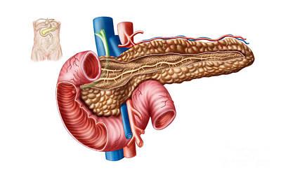 Anatomy Of Pancreas Poster by Stocktrek Images