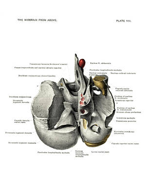 Anatomy Of The Midbrain Poster by National Library Of Medicine