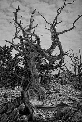 Ancient Bristlecone Pine Poster