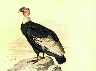 Andean Condor Poster by Collection Abecasis