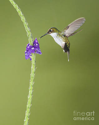 Poster featuring the photograph Andean Emerald Hummingbird by Dan Suzio