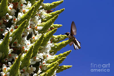 Andean Hillstar Hummingbird Feeding On Puya Raimondii Flowers Poster by James Brunker
