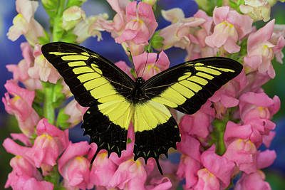 Androgeus Swallowtail, Queen Page Or Poster by Darrell Gulin