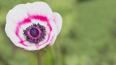 Anemone - Pink Center Poster by Rebecca Cozart