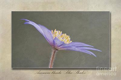 Anemone Blanda Blue Shades Poster