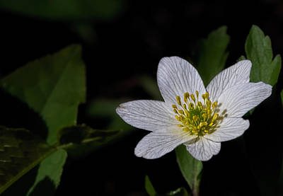 Poster featuring the photograph Anemone Nemorosa  By Leif Sohlman by Leif Sohlman