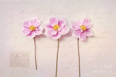 Anemone Trio Poster by Sylvia Cook