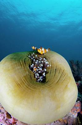 Anemonefish Sheltering In Anemone Poster by Scubazoo