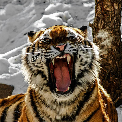 Angry Tiger Poster by Ernie Echols