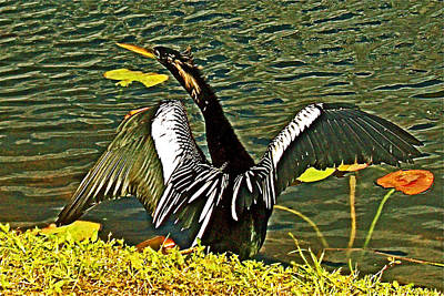 Anhinga Drying It's Wings In Everglades National Park-florida Poster by Ruth Hager