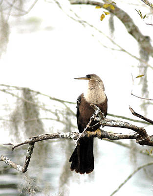 Anhinga On A Misty Morning Da Poster by Norman Johnson