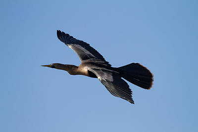 Anhinga Plane Over The Blue Sky Poster