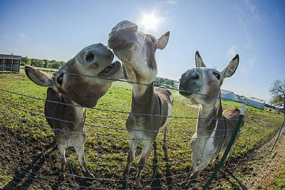 Animal Personalities Snooty Conceited Donkeys Tell Gossip Poster by Jani Bryson