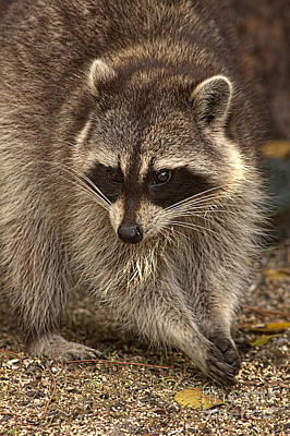 Animals - Raccoon Poster by Anne Rodkin
