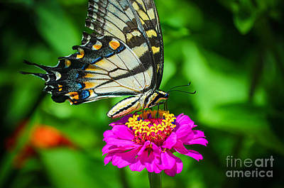 Anise  Swallowtail Butterfly Poster by Peggy Franz