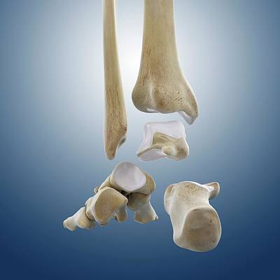 Ankle Joint Anatomy Poster by Springer Medizin