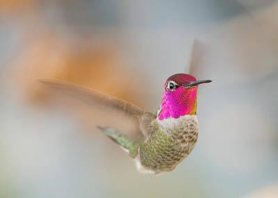 Anna's Hummingbird Poster by Doug Herr