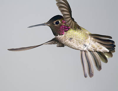 Poster featuring the photograph Annas Hummingbird  by Gregory Scott