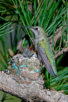 Annas Hummingbird With Young Poster
