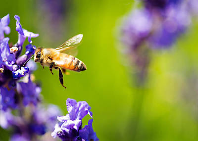 Another Bee And The Lavender Poster