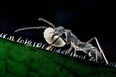 Ant Carrying Larva Poster by Melvyn Yeo