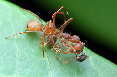 Ant-mimic Crab Spider With Prey Poster