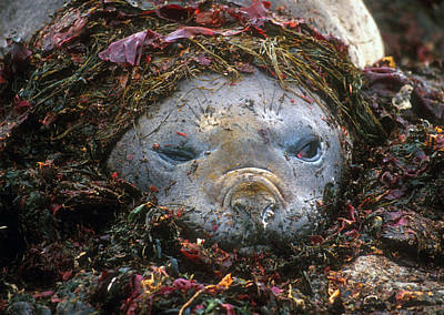 Poster featuring the photograph Antarctic Elephant Seal by Dennis Cox WorldViews
