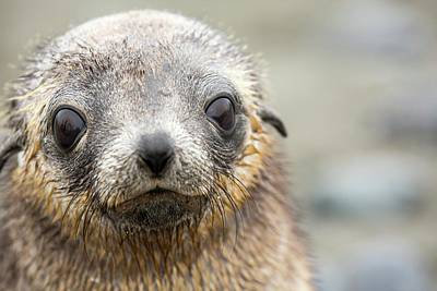 Antarctic Fur Seal Pups Poster by Ashley Cooper