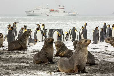 Antarctic Fur Seals And King Penguins Poster by Ashley Cooper