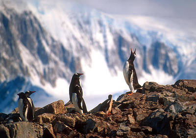 Poster featuring the photograph Antarctic Gentoo Penguins by Dennis Cox WorldViews