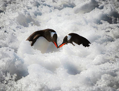 Antarctica A Pair Of Gentoo Penguins Poster by Janet Muir