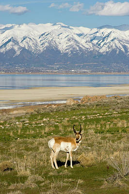 Antelope On Shore Of Antelope Island Poster