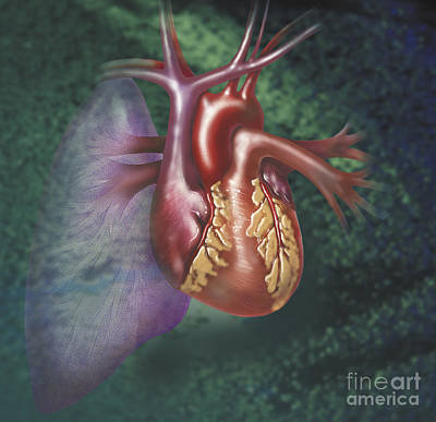 Anterior View Of Heart And Lung Poster by TriFocal Communications