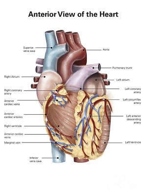 Anterior View Of The Human Heart Poster by Alan Gesek