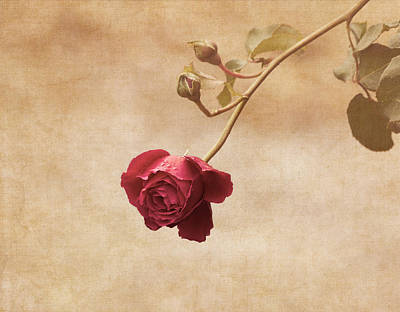 Antique Rose Poster by Kim Hojnacki