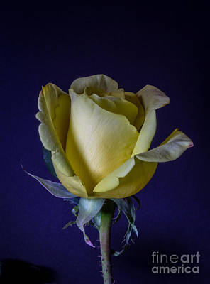 Antique Yellow Rose Poster