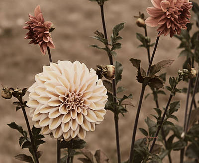Poster featuring the photograph Antiqued Dahlias by Jeanette C Landstrom