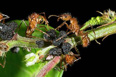 Ants Harvesting Leafhopper Honeydew Poster