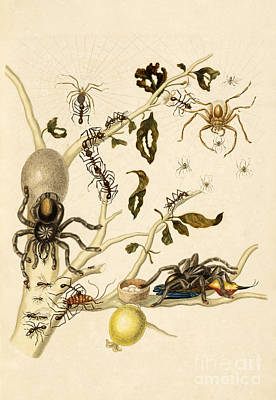 Ants Spiders Tarantula And Hummingbird Poster by Getty Research Institute