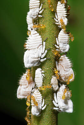 Ants Tending Planthopper Nymphs Poster by Dr Morley Read