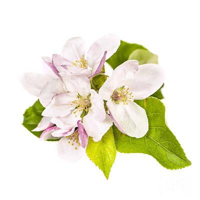 Apple Blossom Poster by Elena Elisseeva