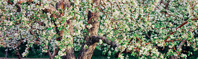 Apple Blossom Flowers, Quebec, Canada Poster by Panoramic Images