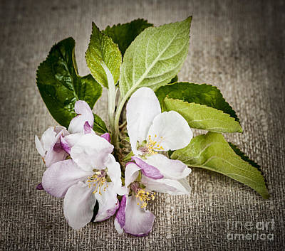 Apple Blossom On Linen Poster by Elena Elisseeva