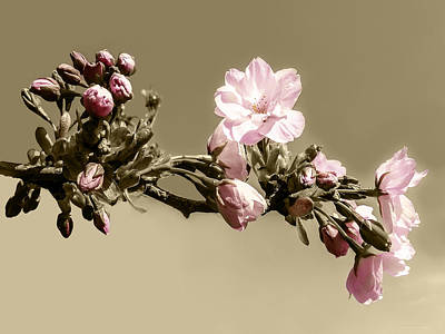 Apple Blossom On Sepia Poster by Yvon van der Wijk