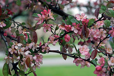 Poster featuring the photograph Apple Blossom Time by Kay Novy