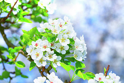 Apple Blossom Poster by Wladimir Bulgar