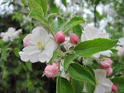 Apple Blossoms And Buds Poster