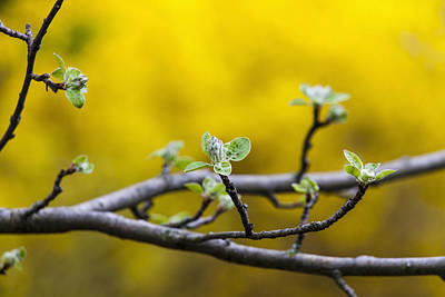 Apple Flower Buds Against A Yellow Poster by Laura Berman